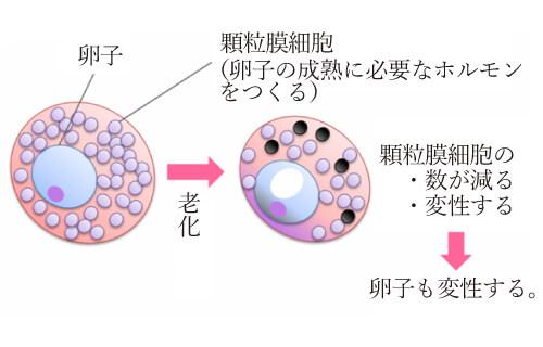 卵子の老化とは