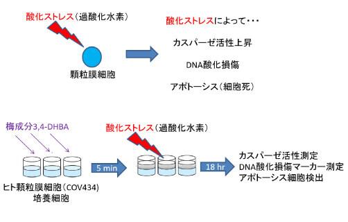 酸化ストレスによる細胞死に対する効果を検討1