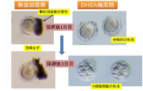 顆粒幕細胞の変性